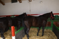 kikötött ló nyári állásban 2